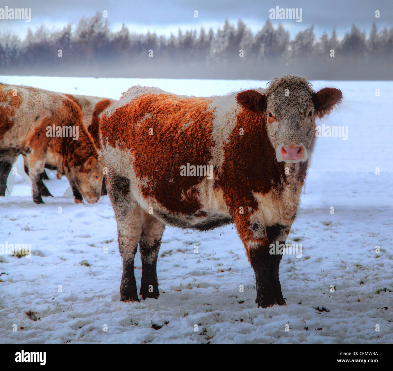 Brown,and,White,Highland,Cow,near,Dalkeith,Palace,Midlothian,in ice,snow,harsh winter,Scotland,UK,gotonysmith,ice,snow,icy,cold,winter,wintery,curious,fog,Scottish,country,countryside,gotonysmith,Buy Pictures of,Buy Images Of