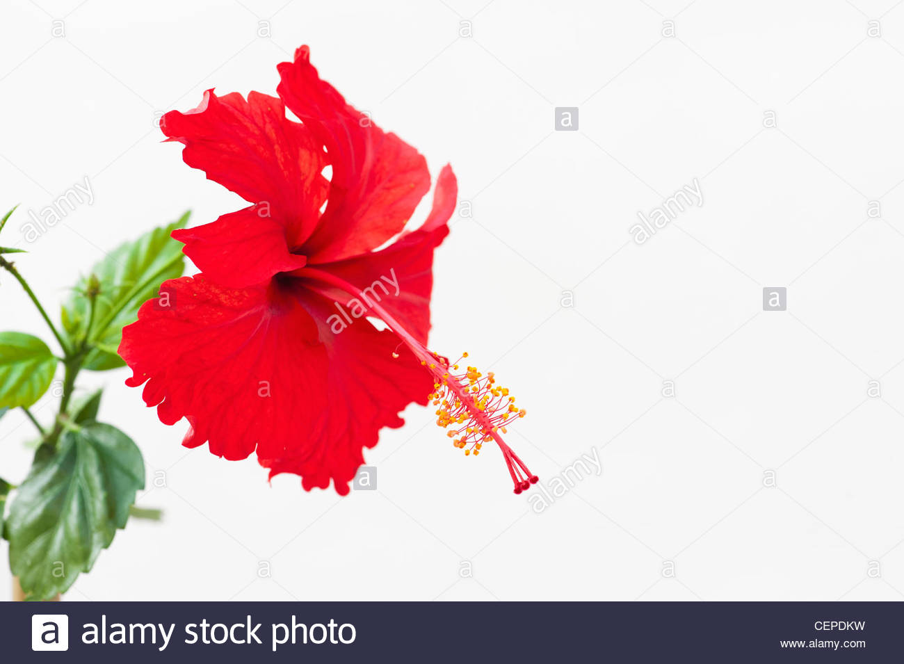 Hibiscus rosa sinensis red hibiscus flower on white background hibiscus rosa sinensis red hibiscus flower on white background izmirmasajfo Image collections