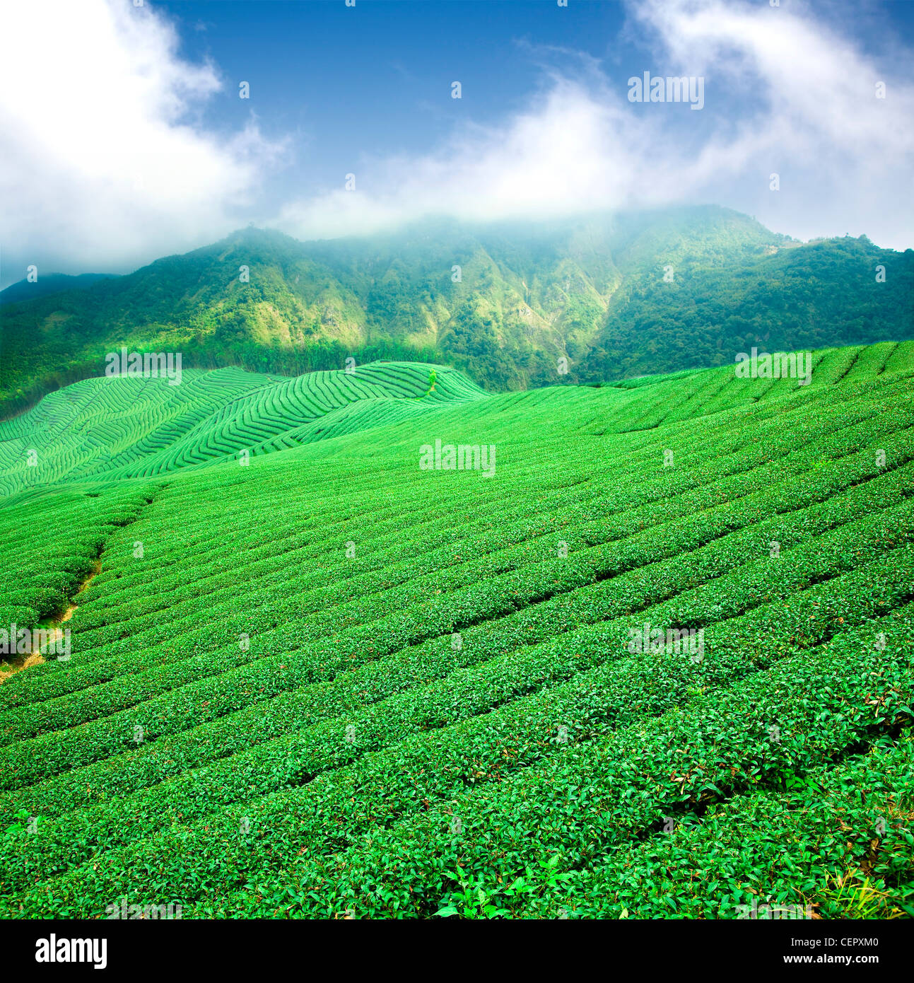 green tea plantation with cloud in asia - Stock Image