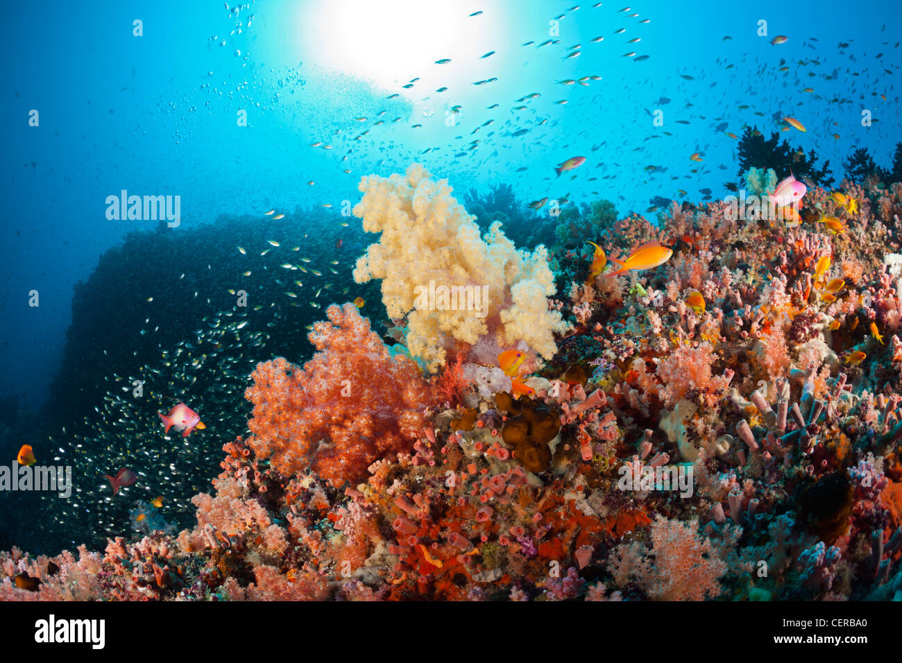 Soft Coral Reef, North Male Atoll, Indian Ocean, Maldives - Stock Image