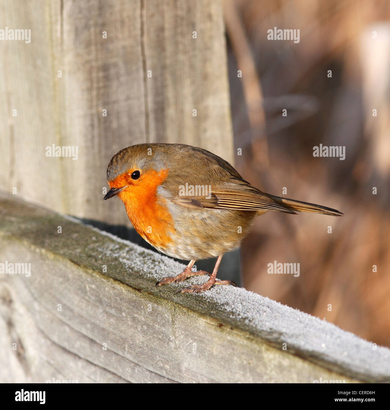 robin-redbreast-on-fence-in-winter-CERD6H.jpg