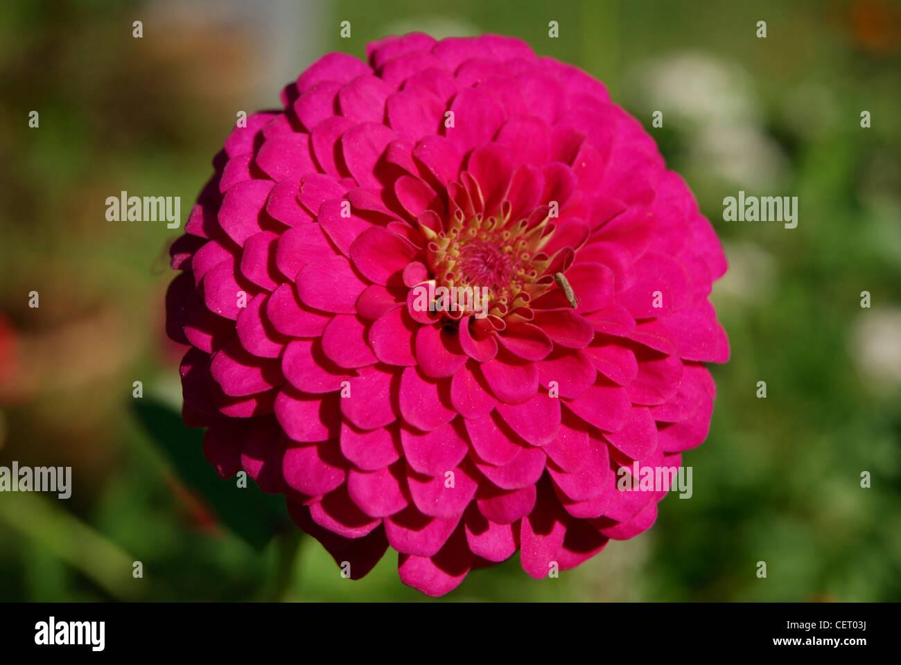 Red dahlia flower in green gardenralaindia stock photo 43552870 red dahlia flower in green gardenralaindia izmirmasajfo