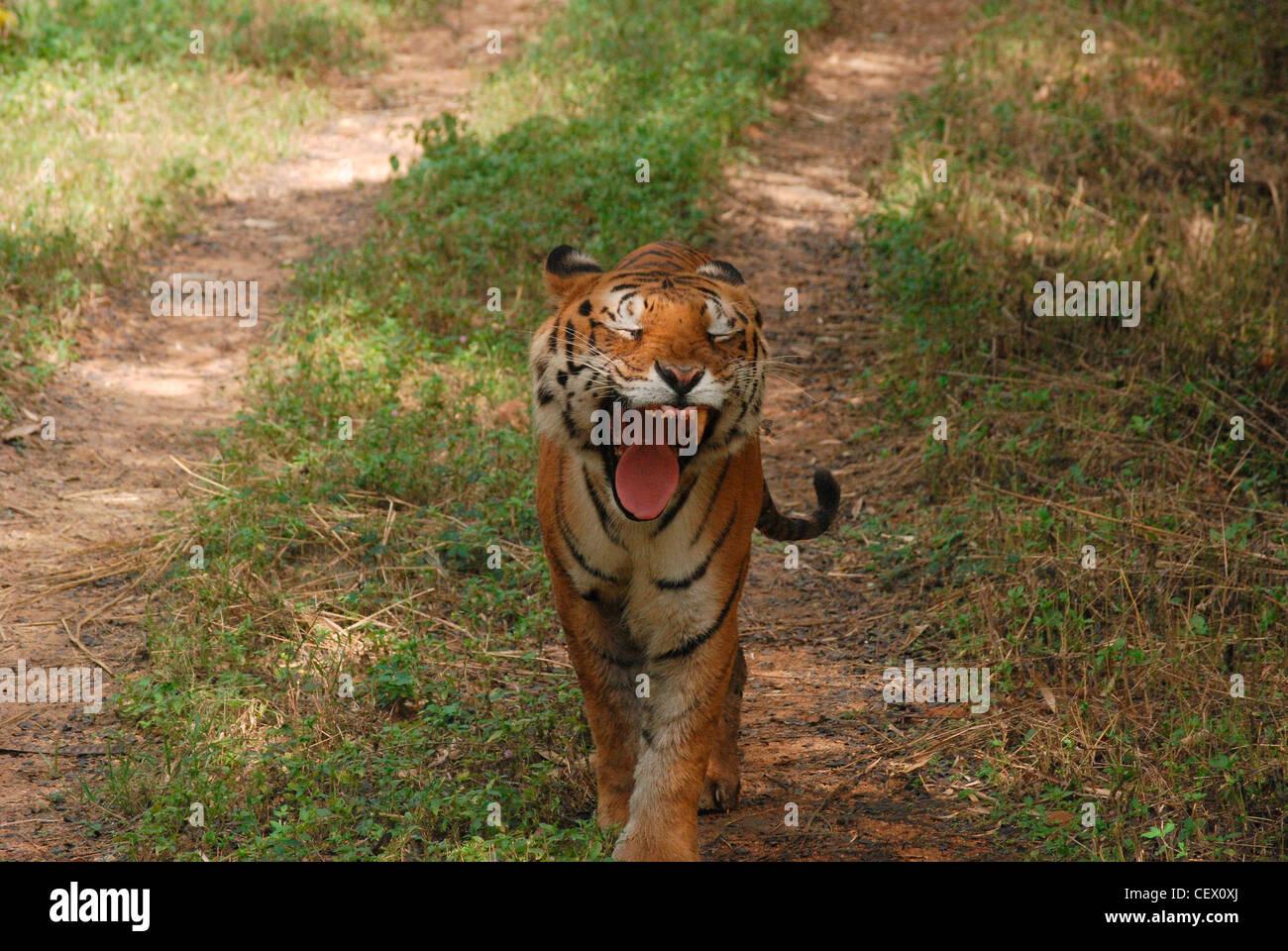 tiger yawning; wild life sanctuary, india. bengal tiger is the national  animal of india. - Stock Image