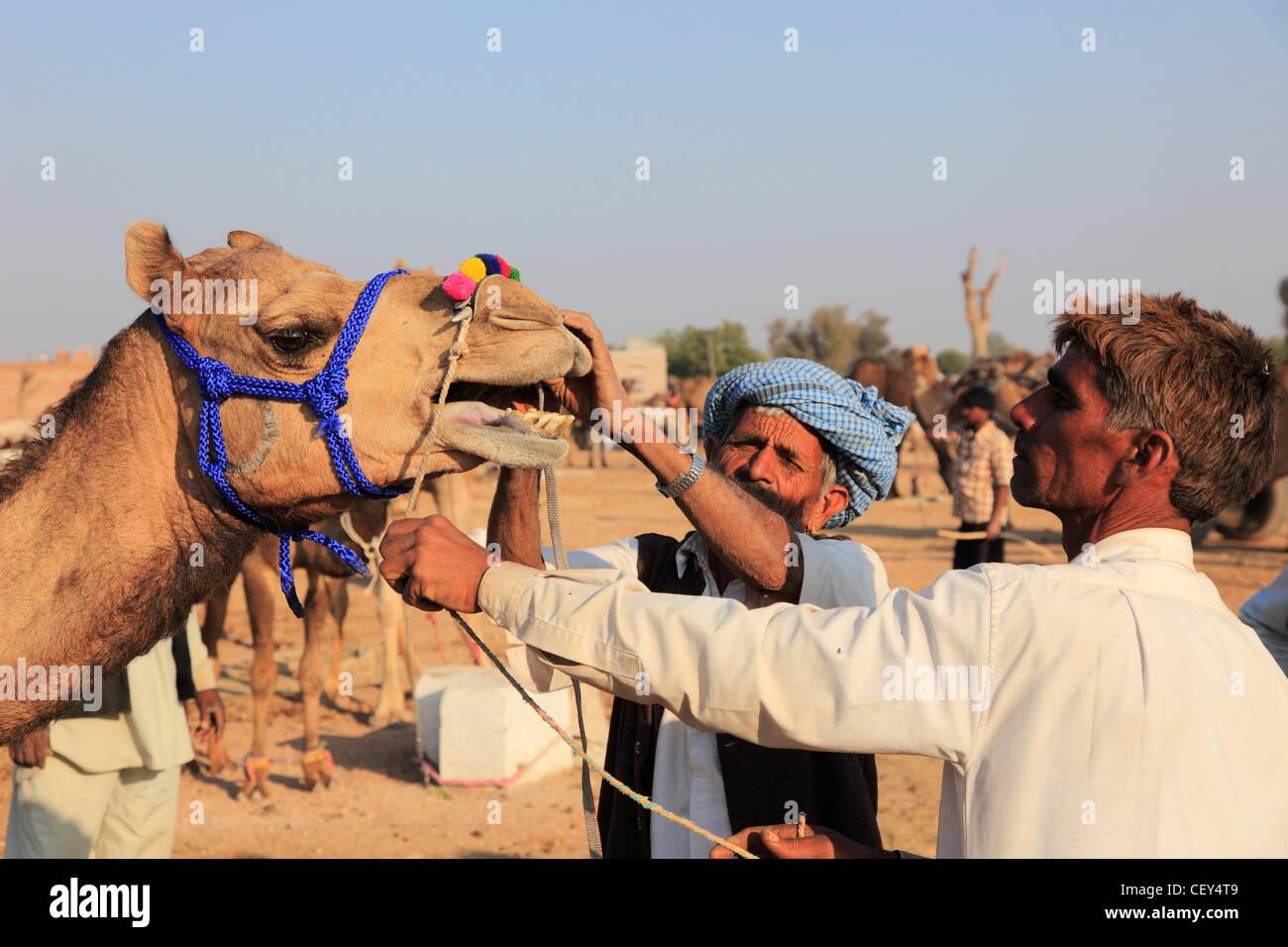 India, Rajasthan, Nagaur, Fair, camel, people, buyer looking at the teeth, - Stock Image
