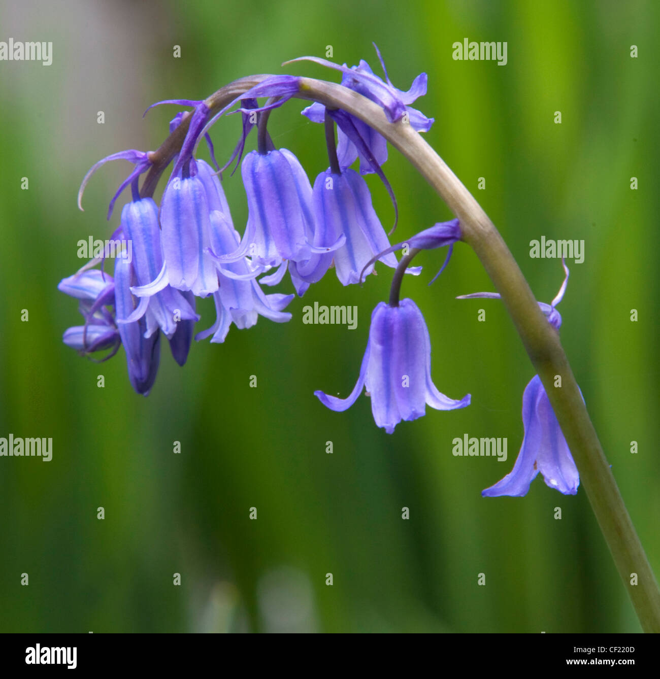 Common Bluebell,(,Hyacinthoides,),a,blue,flower,seen,in,spring,here in Lymm,Cheshire,UK,gotonysmith,beauty,nature,what,to,see,whattosee,tourist,tour,traveler,gotonysmith,Buy Pictures of,Buy Images Of,The common Bluebell,(Hyacinthoides,non-scripta,to,be,precise),grows,from,bulbs,and,can,be,expected,about,four,weeks,after,daffadils,in,Britain.,By,the,time,they,appear,frosts,should,be,receeding,and,days,getting,noticably,warmer.,Other,common,names,for,it,include,auld,mans,bell,bluebell,calverkeys,culverkeys,English bluebell,jacinth,ring-o,absence,if,suitable,conditions,recur.,The,seedlings,can,flower,in,two,years,from,seed,and,as,a,result,bluebells,can,quickly,spread,to,form,a,carpet,in,suitable,conditions.,In,spring,many,north-western,European,woods,are,covered,by,dense,carpets,of,this,flower,thes,-bells,,wilde,hyacint,,and,wood,bells,(probably,as,they,appear,in,shaded,woodland,almost,spontainiously.,Bees,are,a,favourite,to,pollinate,these,plants.,Their,black,seeds,may,survive,long,periods,of,time,emerging,after,several,years