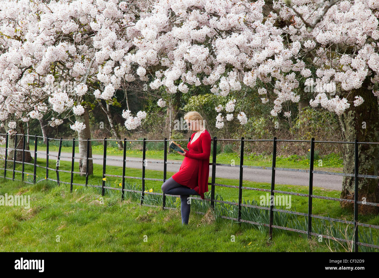 A Young Woman Leans Against A Fence And Reads A Book Under The Cherry Blossom Trees; Killarney County Kerry Ireland - Stock Image