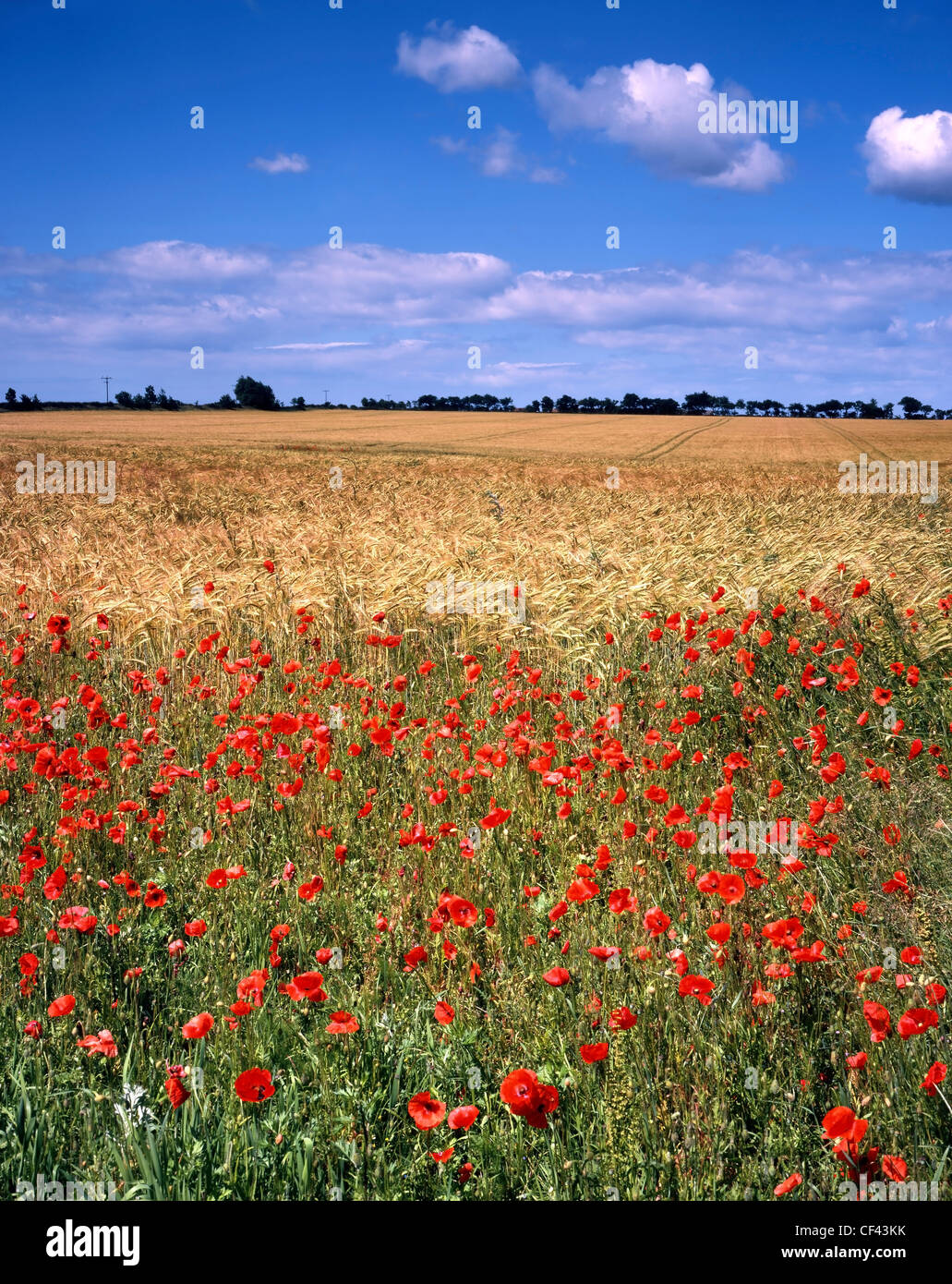 Wild poppies bordering a field of barley. - Stock Image