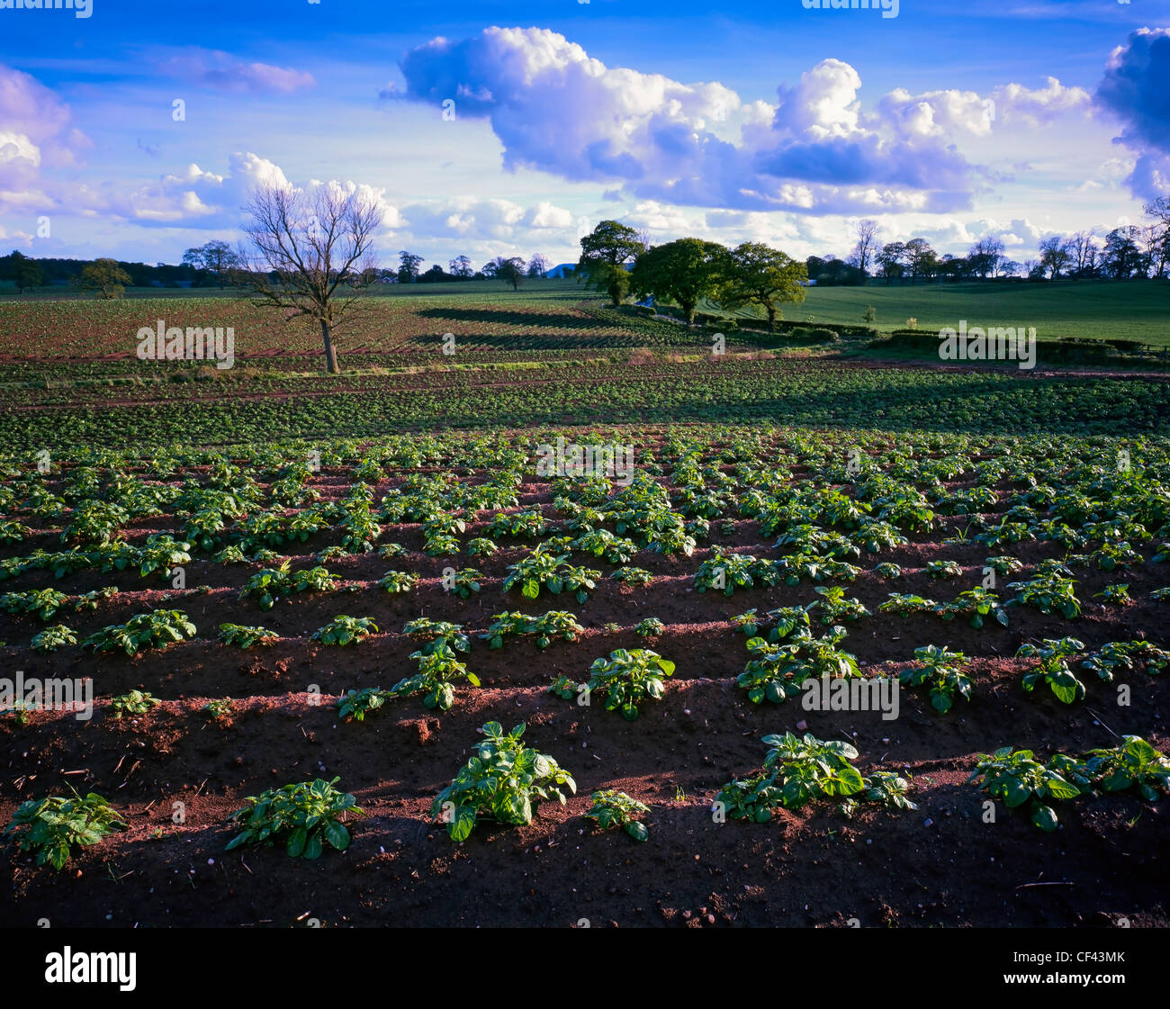 View across a fertile field of crops in rural Cheshire. - Stock Image