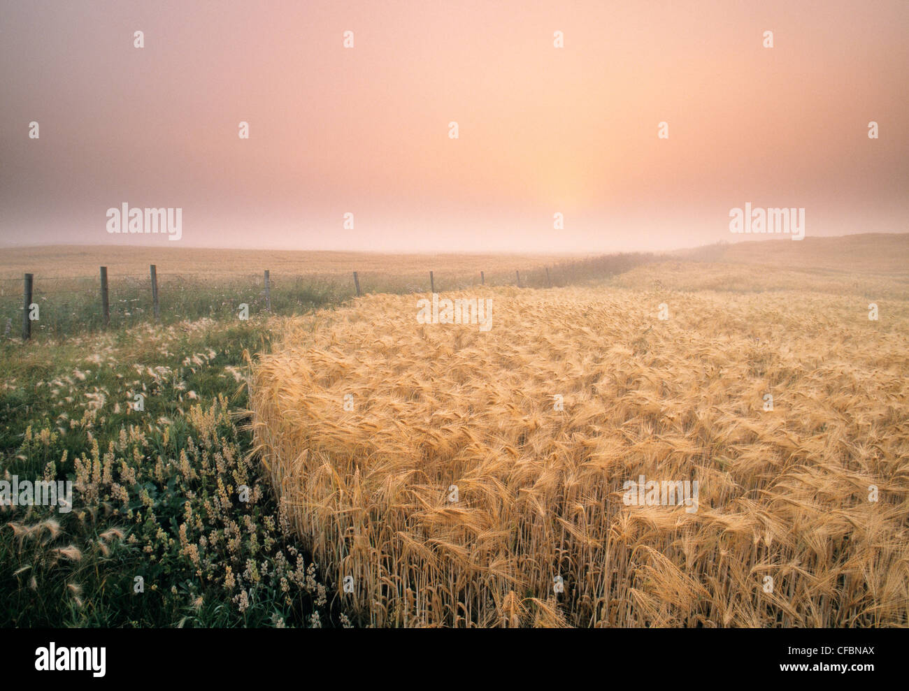 Barley crop and fence near Holland, Manitoba, Canada - Stock Image