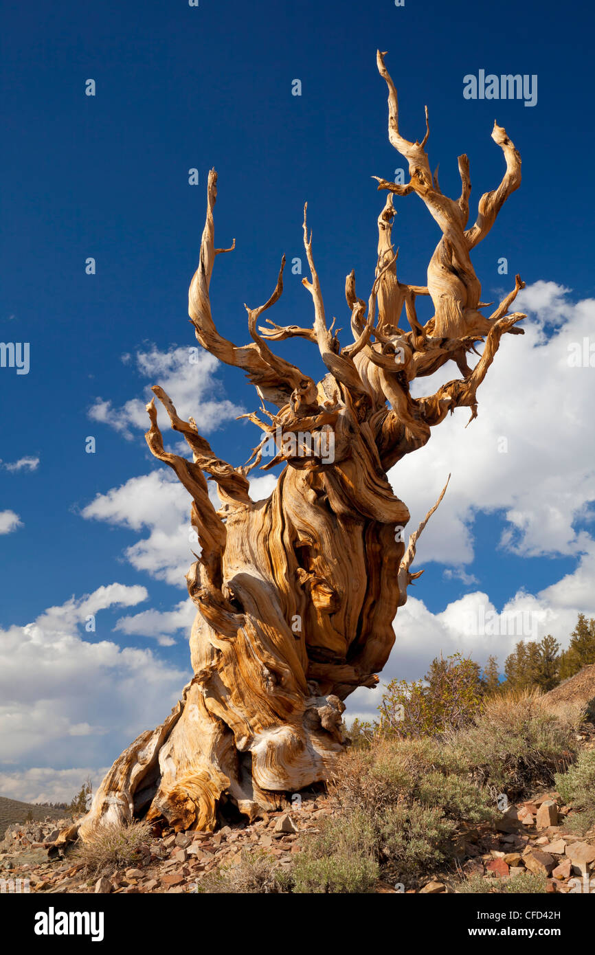 Bristlecone Pine (Pinus longaeva), Ancient Bristlecone Pine Forest Park, Inyo National Forest, Bishop, California, - Stock Image