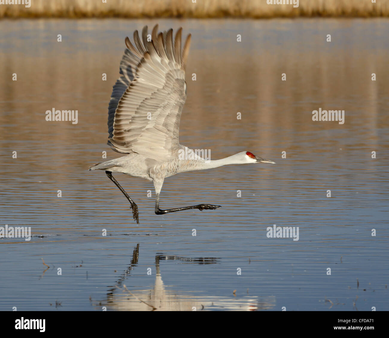 Sandhill crane (Grus canadensis) taking off from a pond, Bosque Del Apache National Wildlife Refuge, New Mexico, - Stock Image