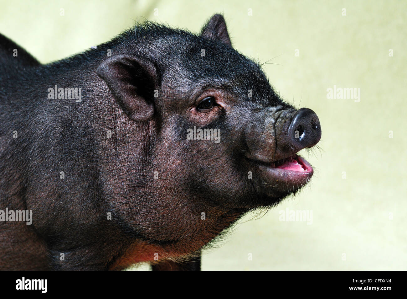 A 12 week old Pot Belly Pig, Duncan, Vancouver Island, British Columbia, Canada - Stock Image