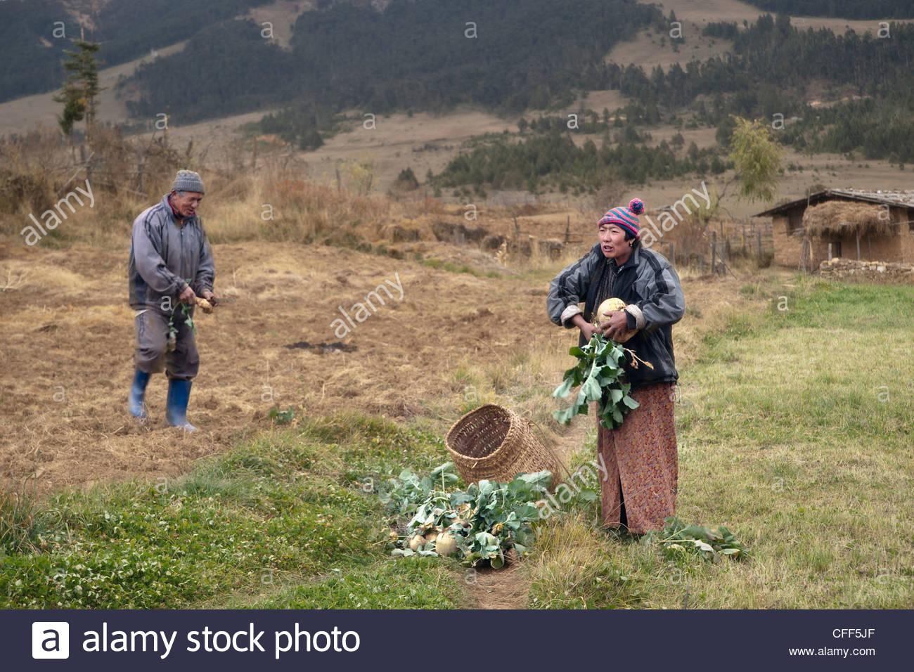 Turnip farmers, Bumthang Valley, Bhutan, Asia - Stock Image