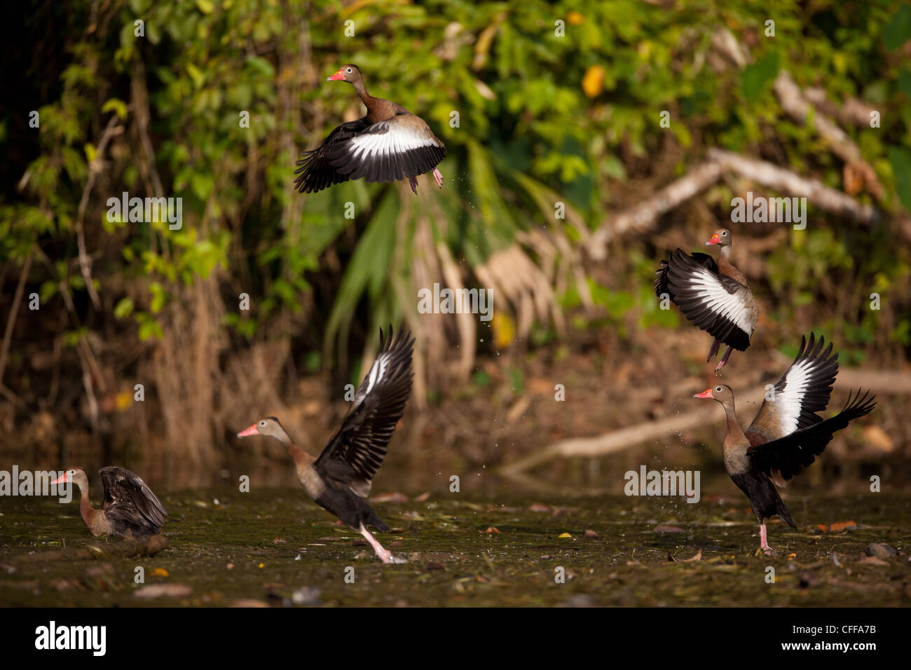 Black-bellied Whistling-ducks taking off from one of the sidearms of Gatun lake, Panama province, Republic of Panama. - Stock Image
