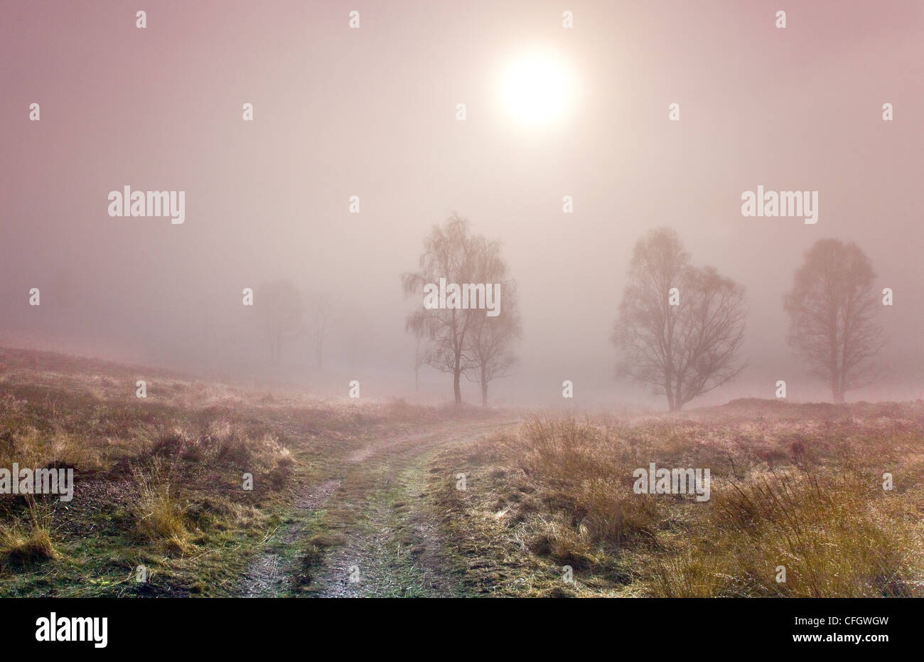 Birch Trees Morning Mist on Cannock Chase AONB (area of outstanding natural beauty) in Staffordshire Midlands England - Stock Image