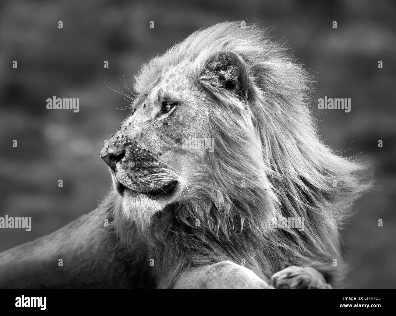 African lion portrait, South Africa - Stock Image