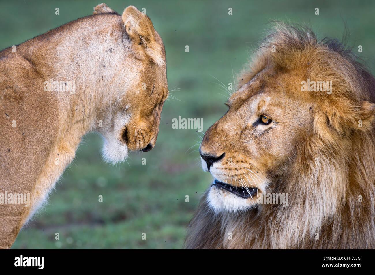 Male and female African Lion at Big Marsh, Ndutu, Serengeti, Tanzania - Stock Image