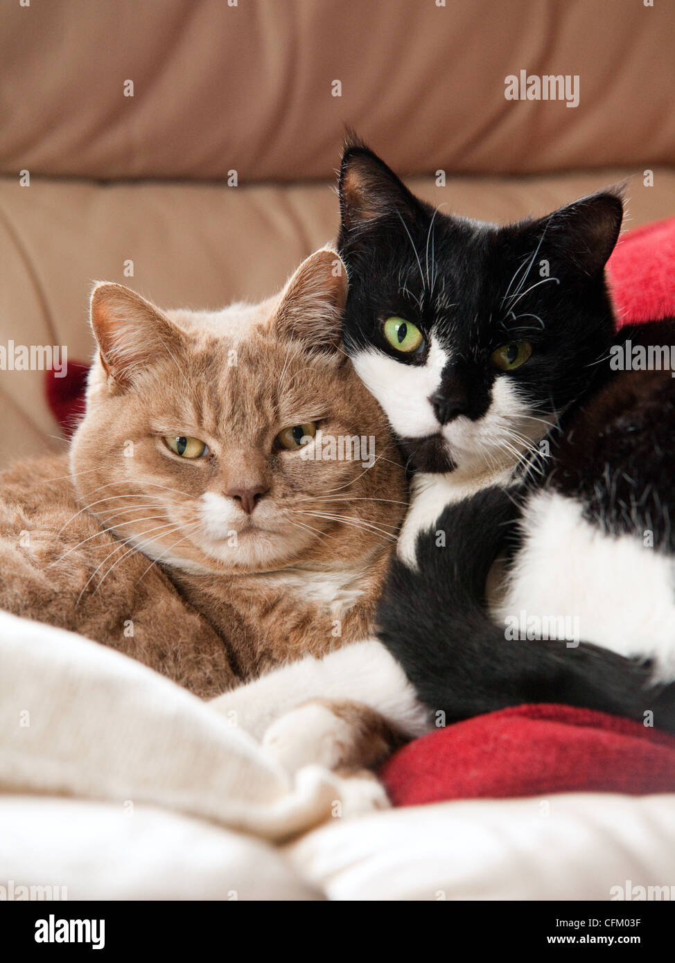 A pair of short-haired domestic cats cuddling together indoors, UK Stock Photo