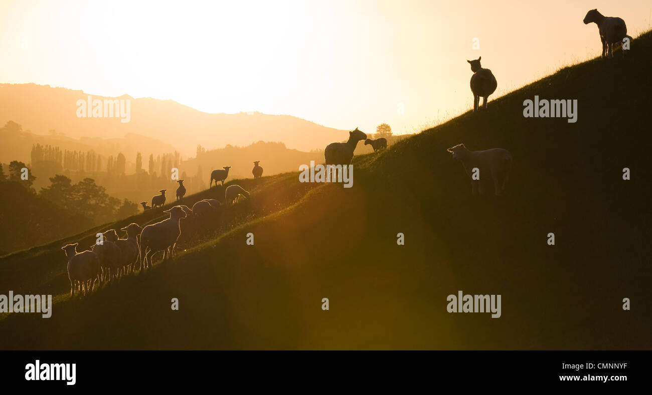 Sheep at sunset at the Roxborough Farm in Tirau, Waikato region, New Zealand, March 21, 2009. (Adrien Veczan) - Stock Image
