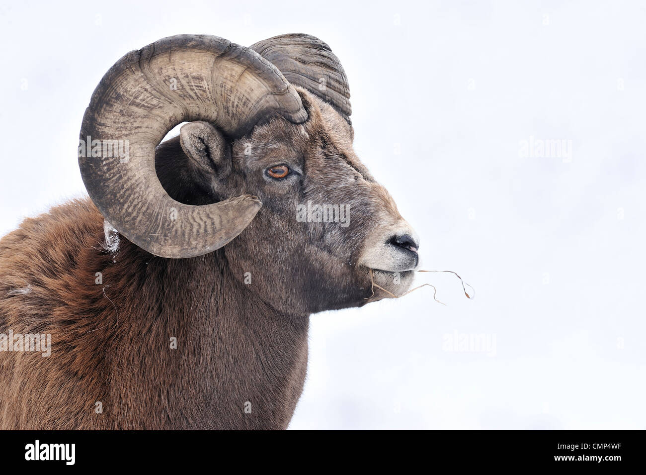 A  portrait of a Rocky mountain bighorn sheep - Stock Image