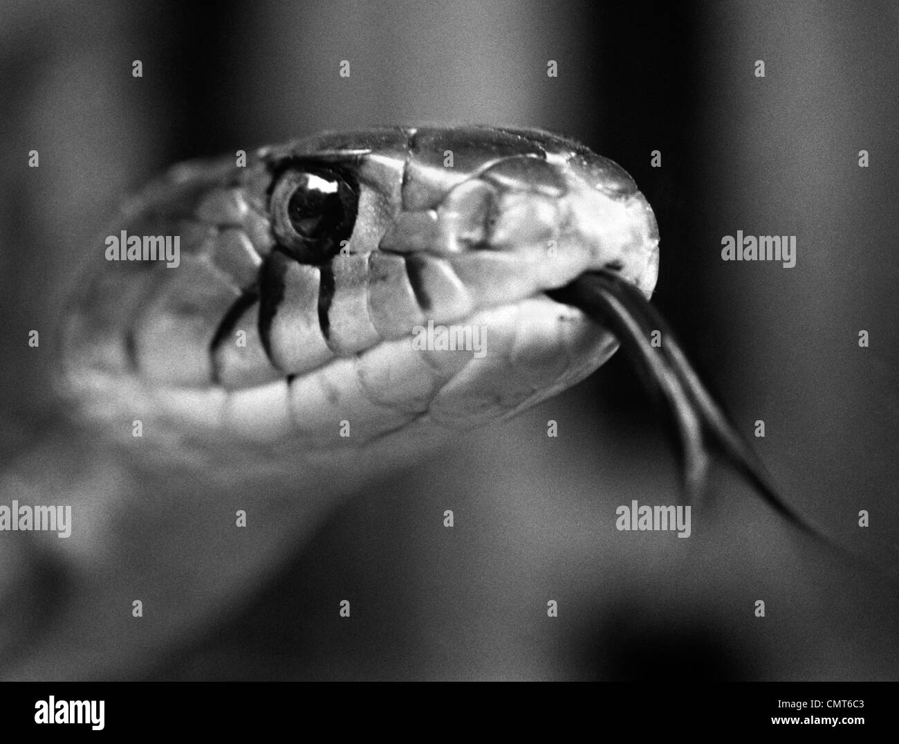 1960s CLOSE-UP HEAD OF SNAKE STICKING OUT TONGUE - Stock Image