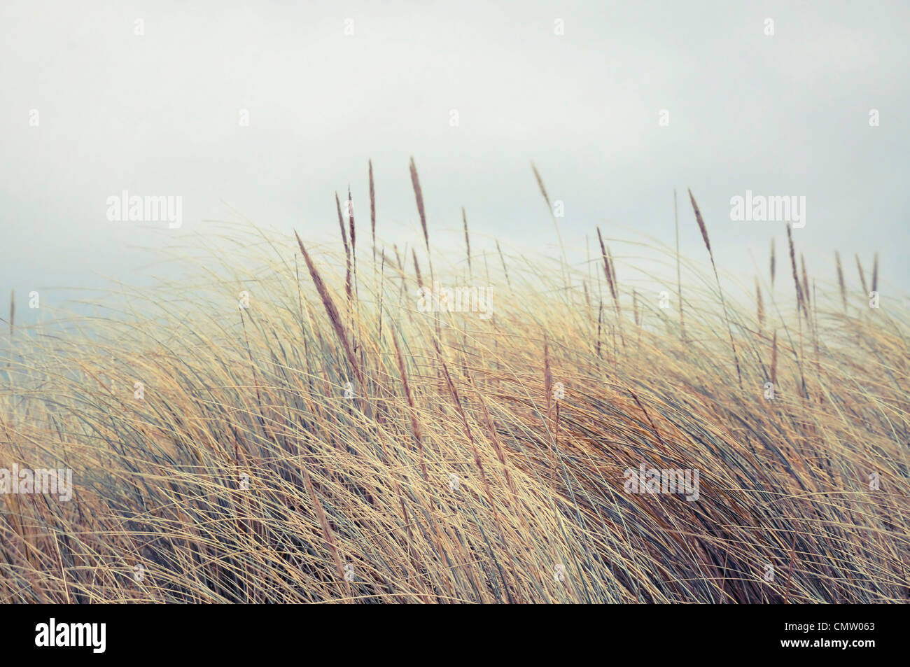 Reeds blowing in wind - Stock Image
