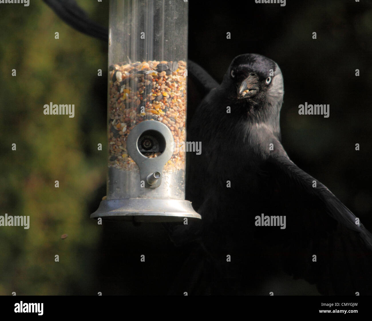 Jackdaw (Corvus monedula)  flies away with a beak full of seed after getting seed from a garden feeder Stock Photo