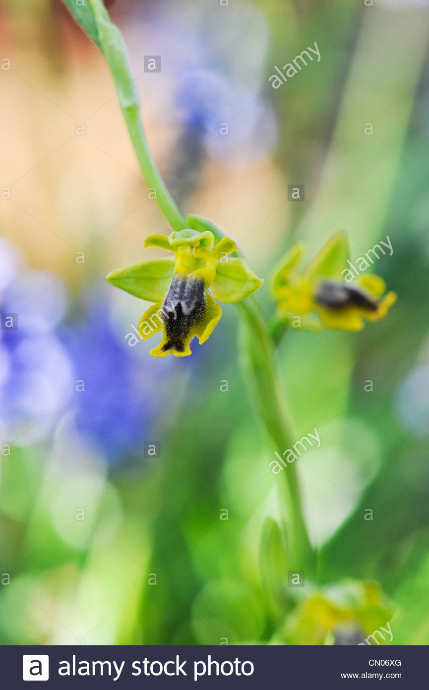 Ophrys lutea galilaea. Small-flowered Yellow Bee Ophrys. Yellow European orchid - Stock Image