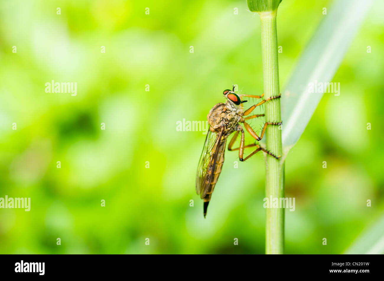 Robberfly macro in green nature or in the garden - Stock Image