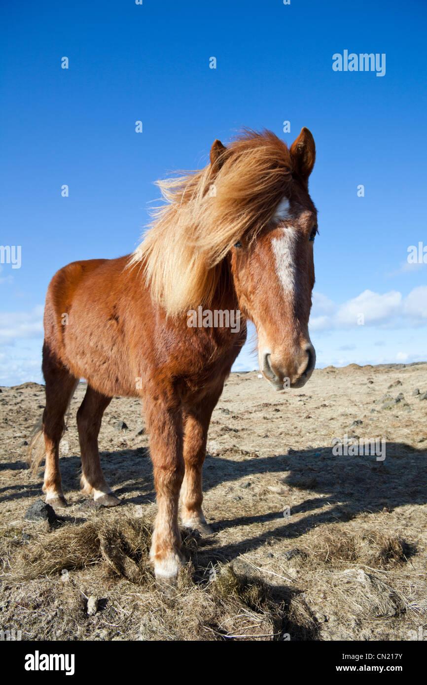 Icelandic horse, Iceland - Stock Image