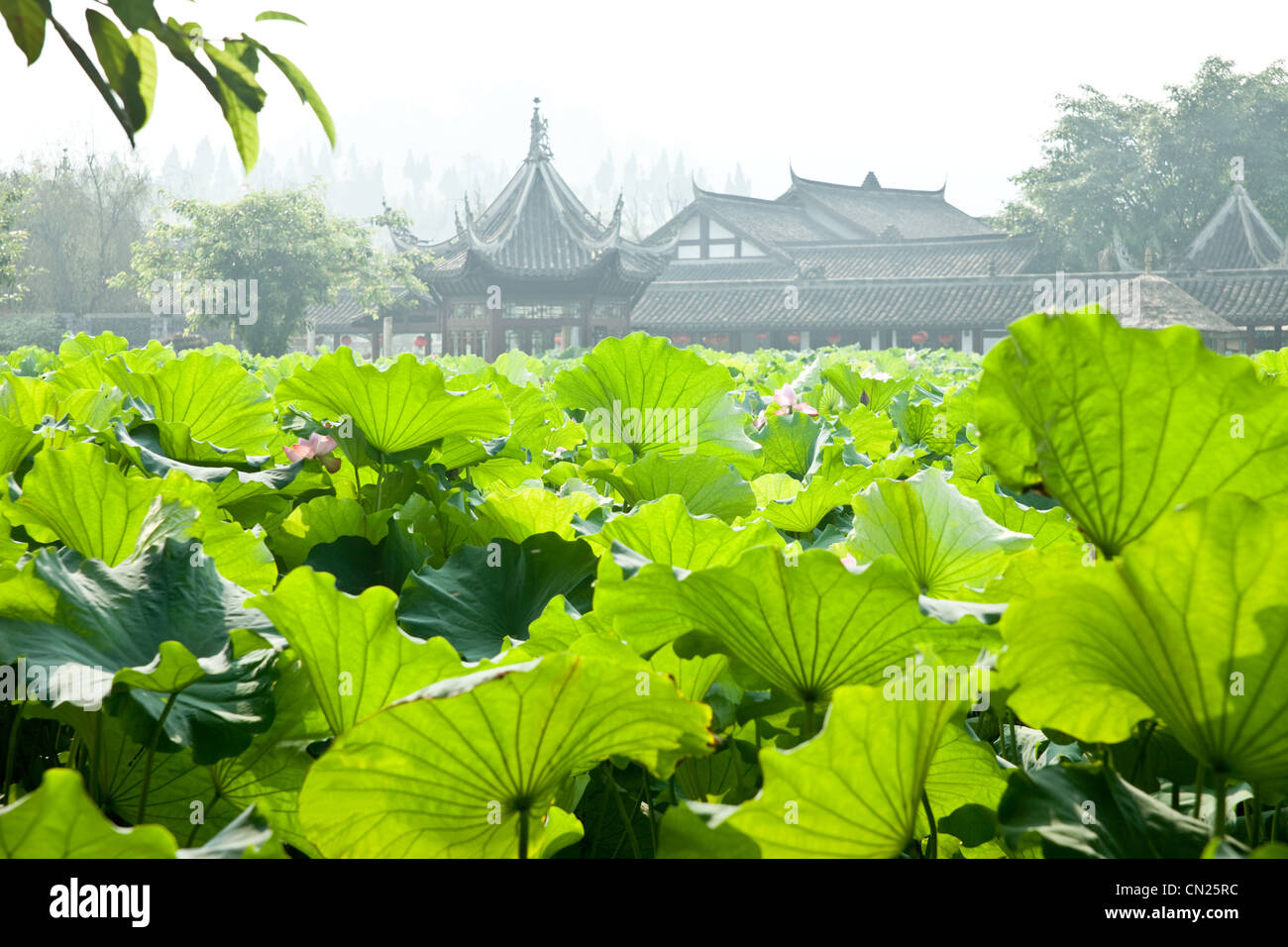 Lotus leaves with traditional Chinese buildings in background - Stock Image