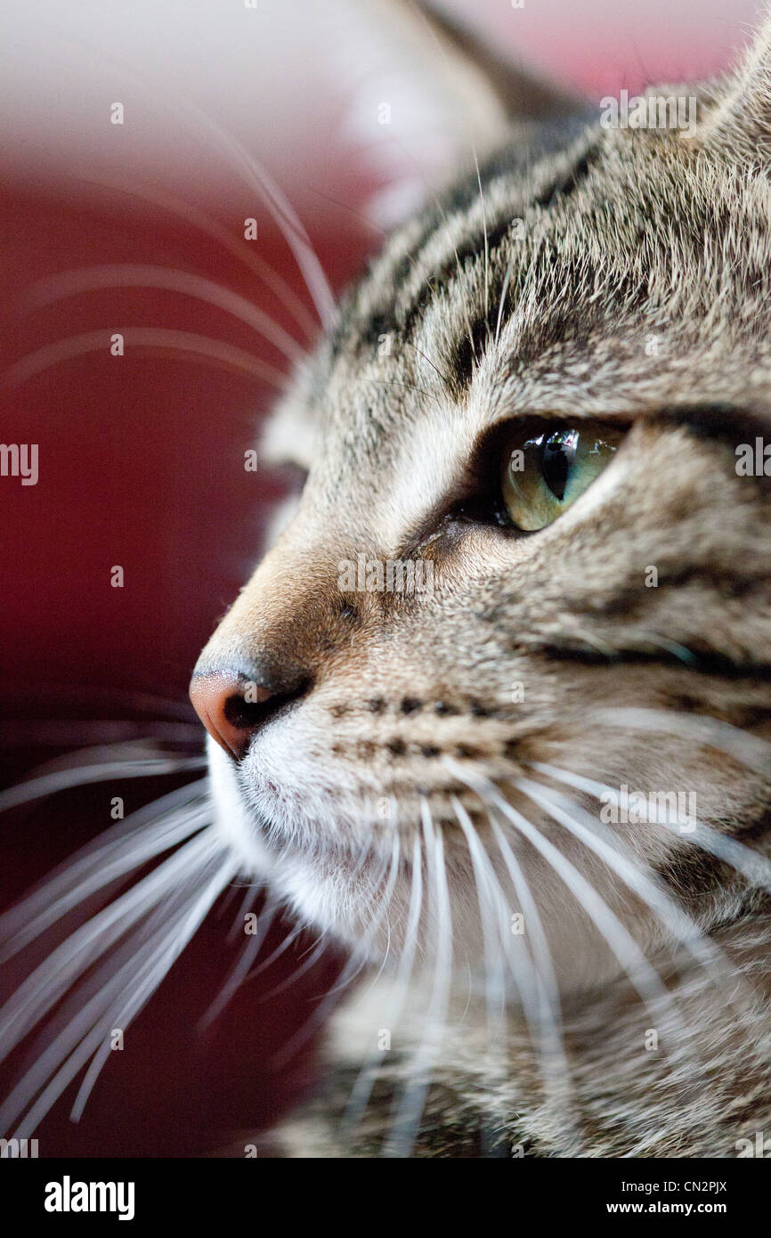 Portrait of cat, close up - Stock Image