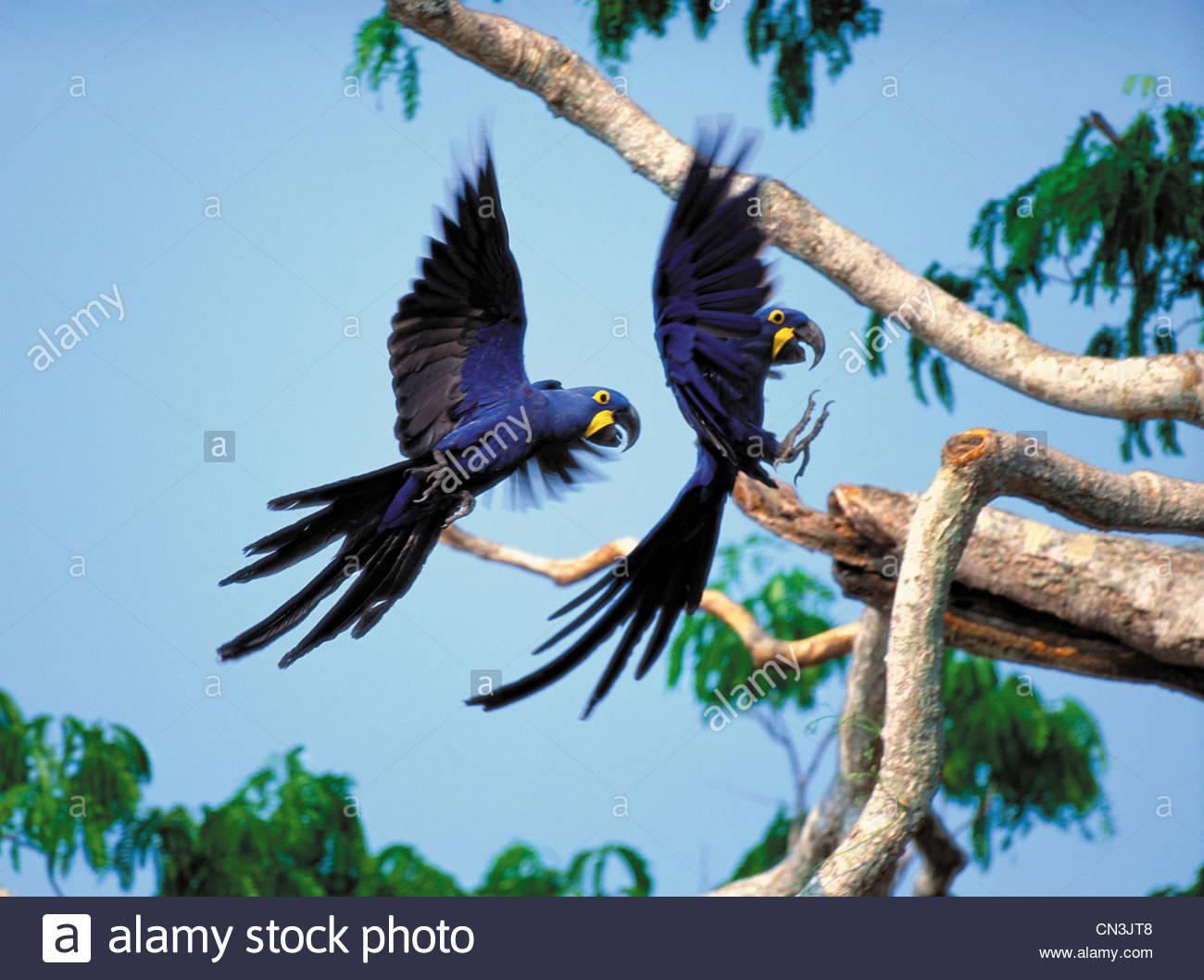 Hyacinth Macaws, Pantanal, Brazil - Stock Image