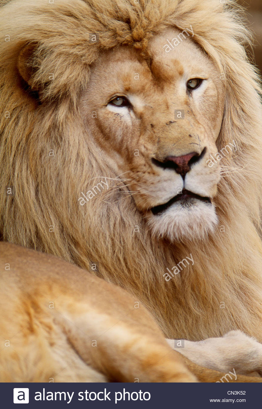 African lion, Tembuvate Preserve, South Africa - Stock Image