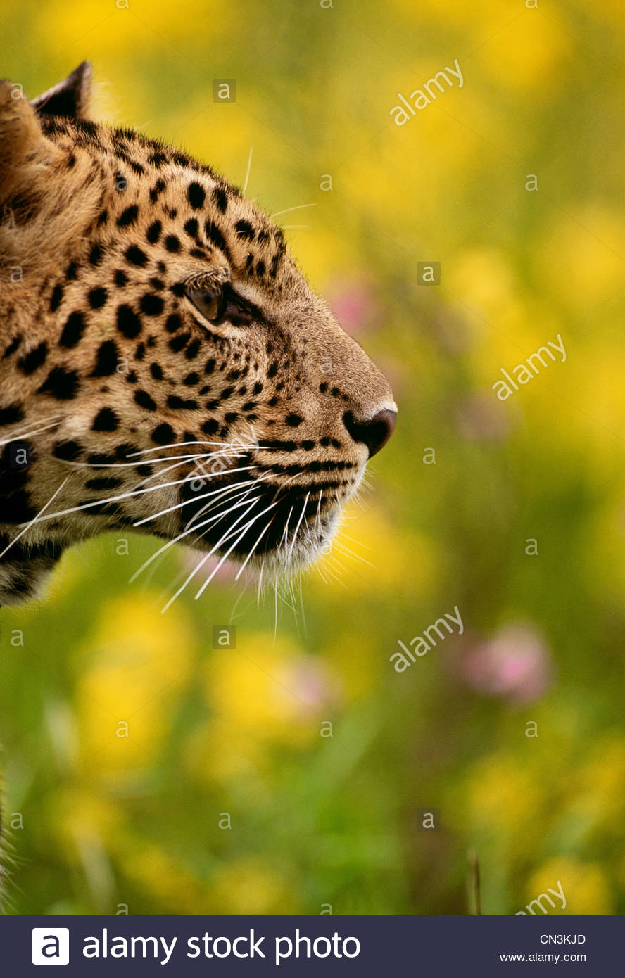 Leopard, South Africa - Stock Image