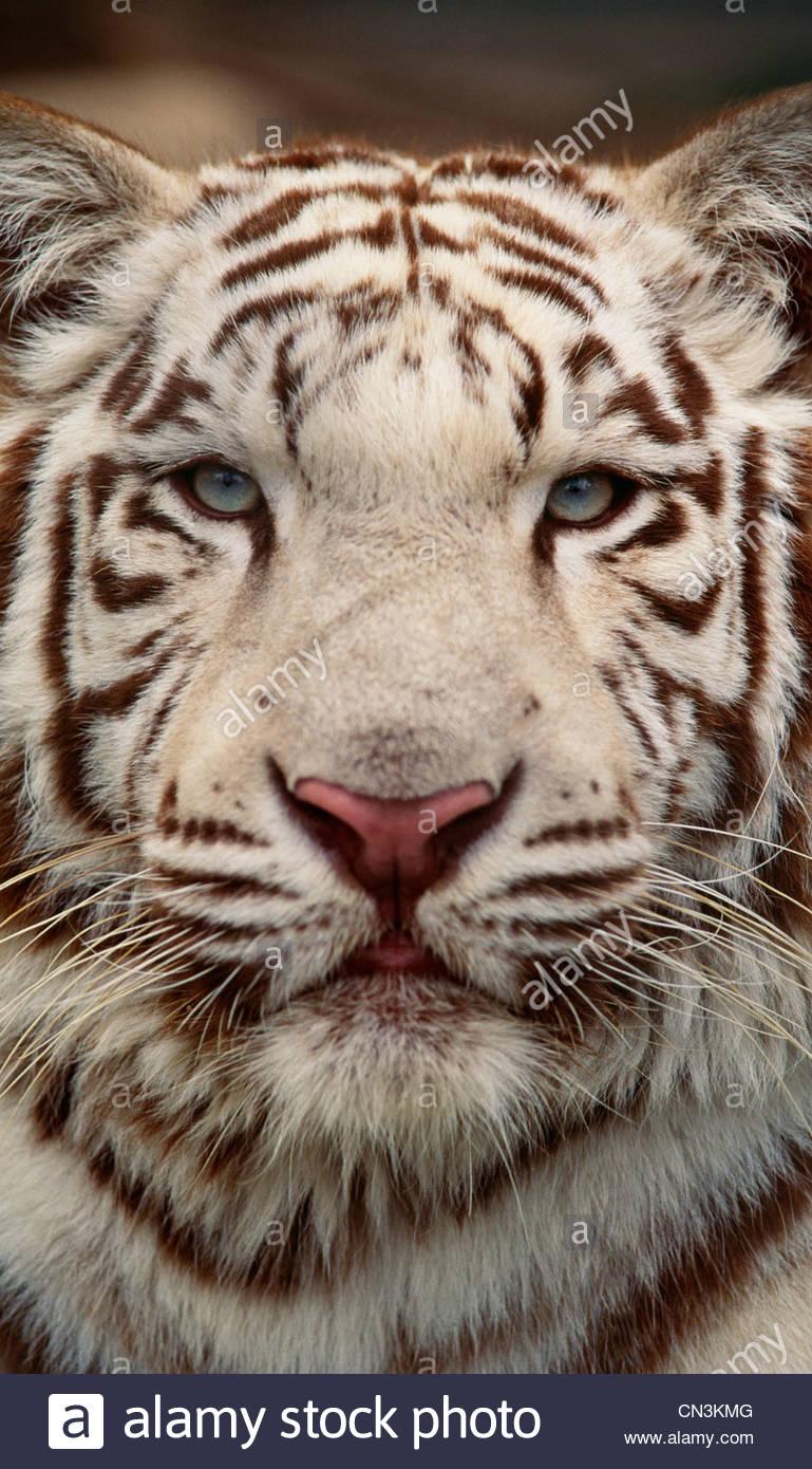 White tiger portrait - Stock Image