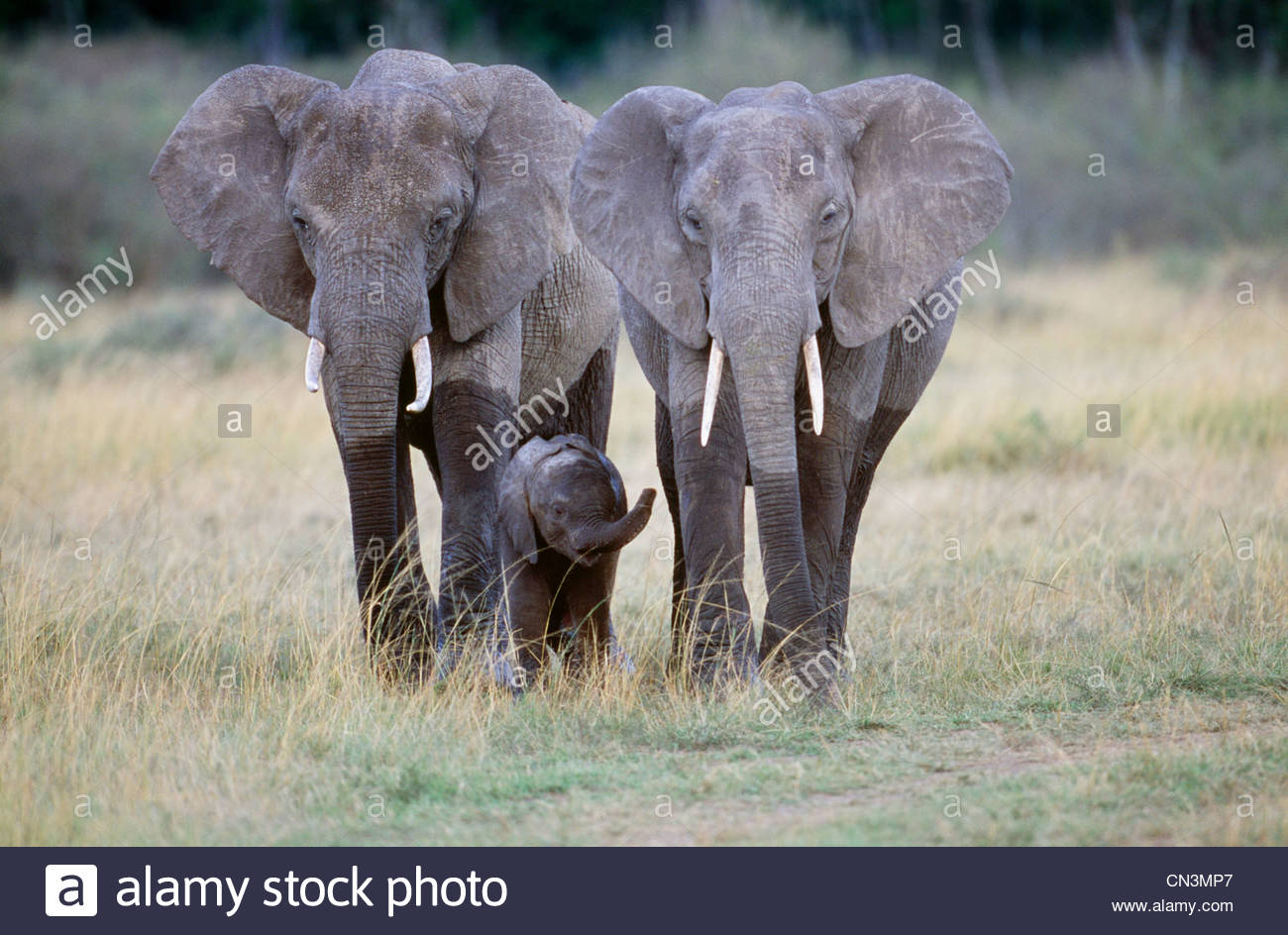 African elephants and calf, Amboseli National Park, Kenya - Stock Image