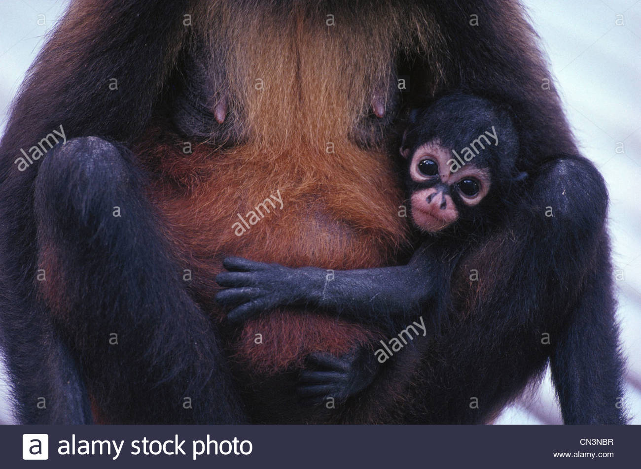 Black-handed spider monkey and baby, Panama - Stock Image