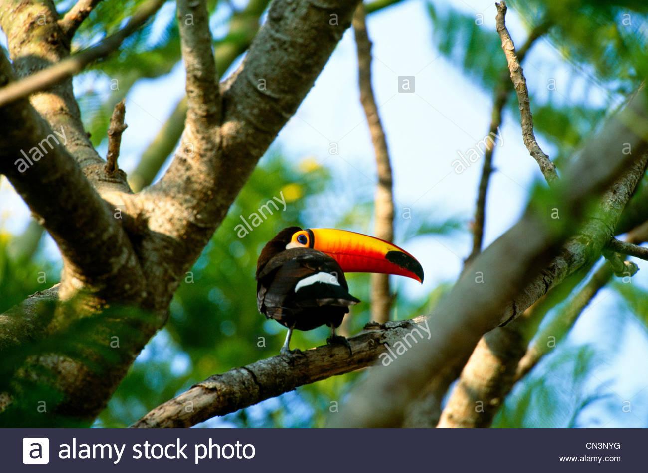 Toco Toucan, Pantanal, Brazil - Stock Image