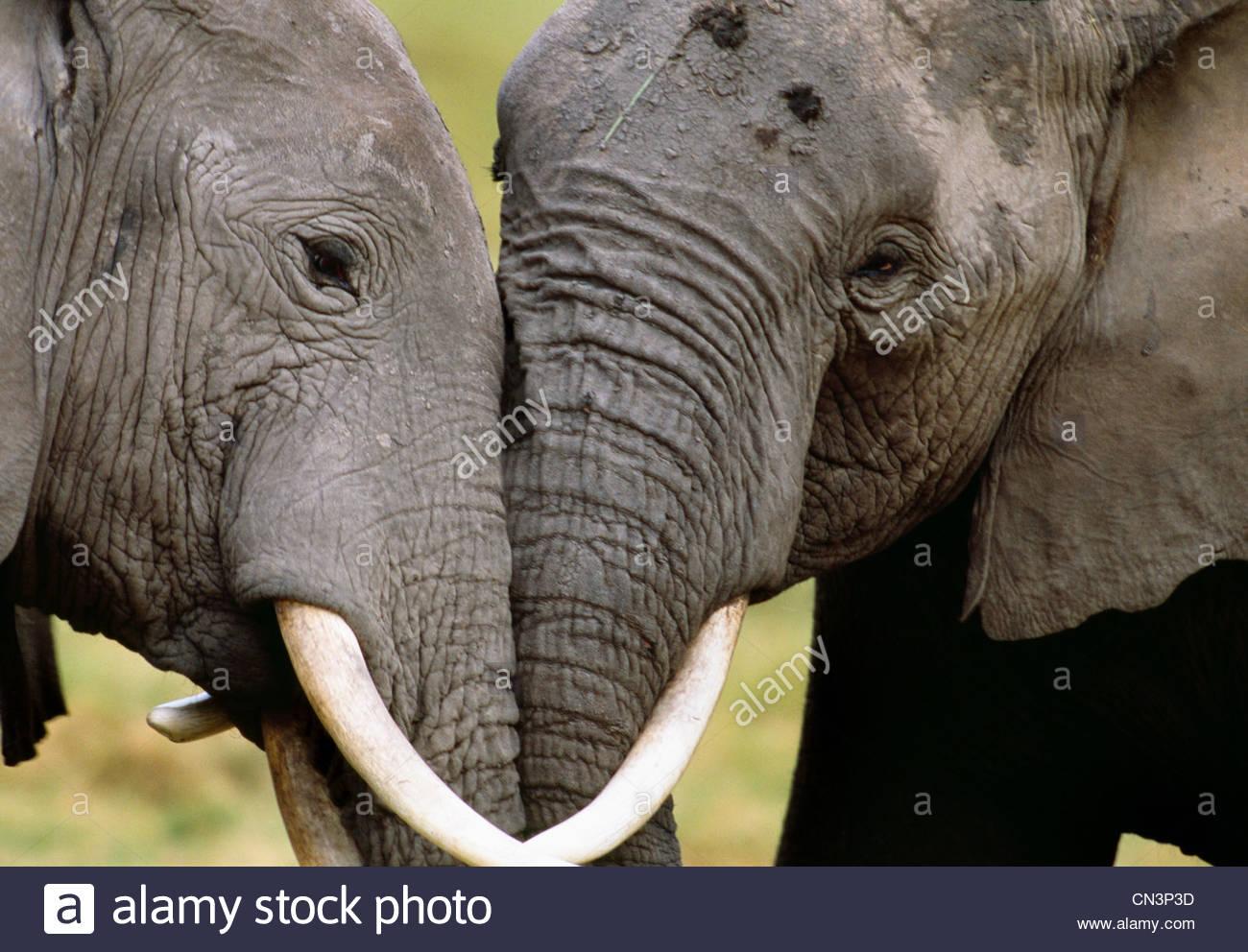 African elephants socializing, Amboseli National Park, Kenya - Stock Image