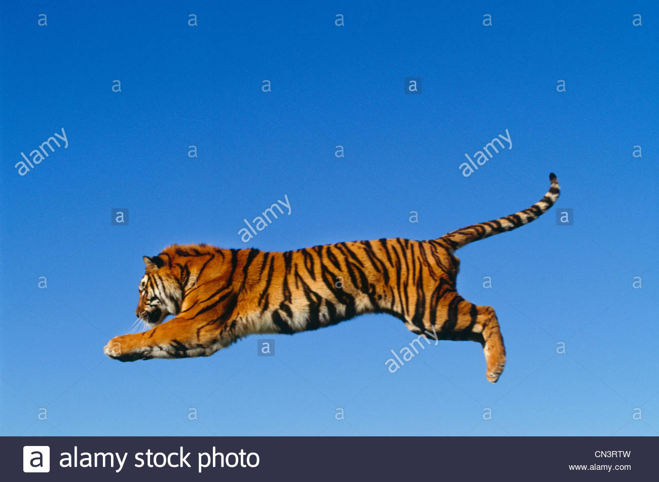 Leaping bengal tiger - Stock Image