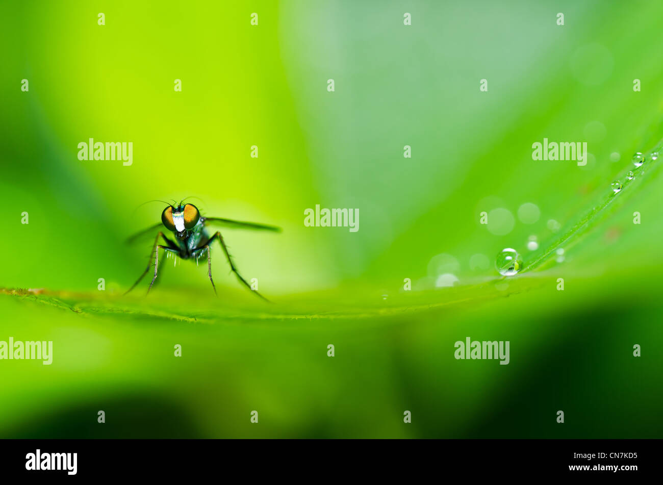 long legs fly in green nature or in the city - Stock Image