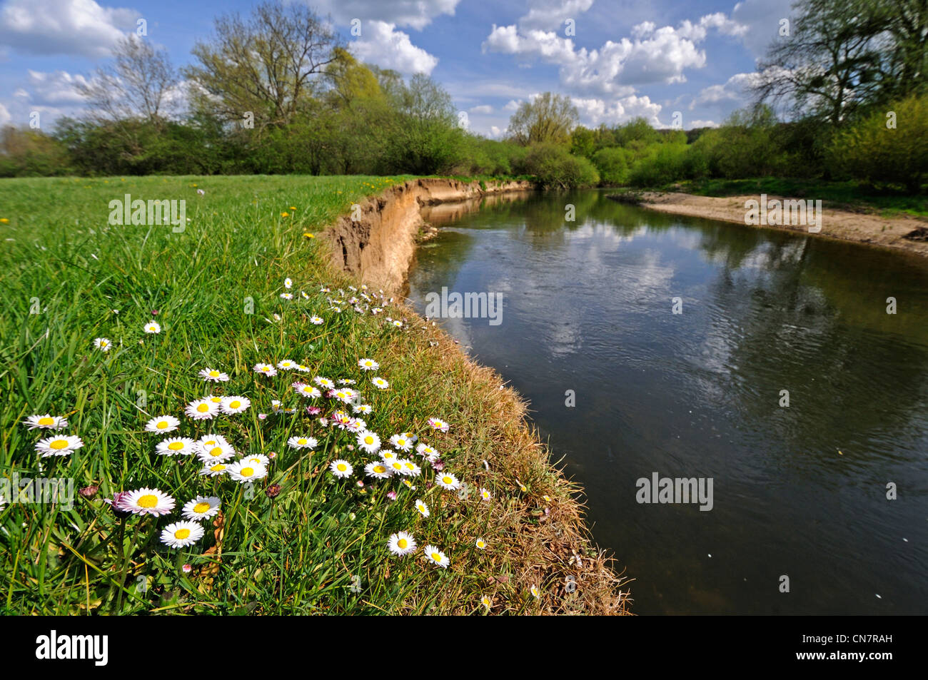 France, Doubs, valley of the Allan, Allenjoie, daisies in the meadow on the riverbank - Stock Image