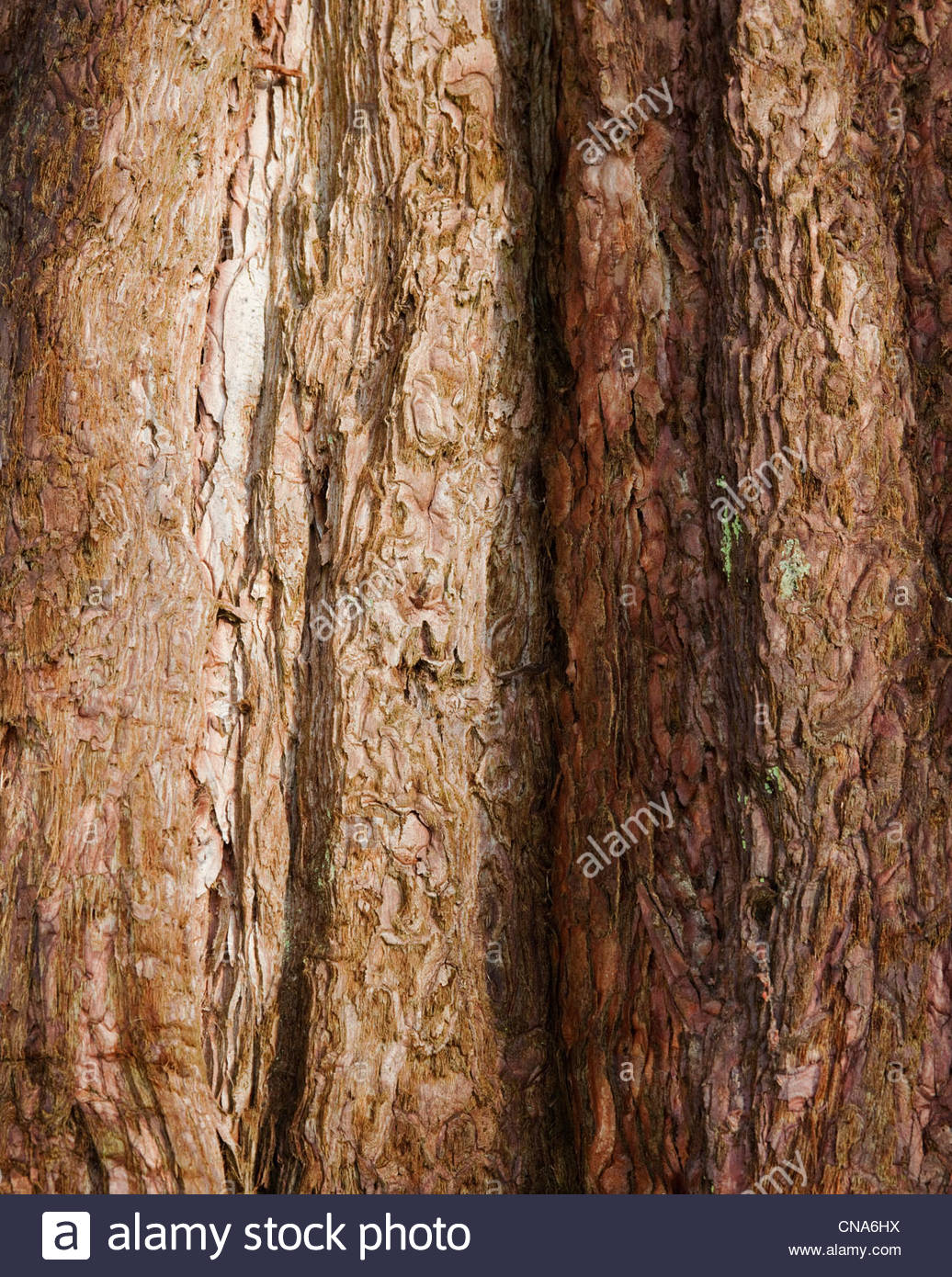 Sequoiadendron giganteum (Wellingtonia, giant sequoia, giant redwood) - Stock Image