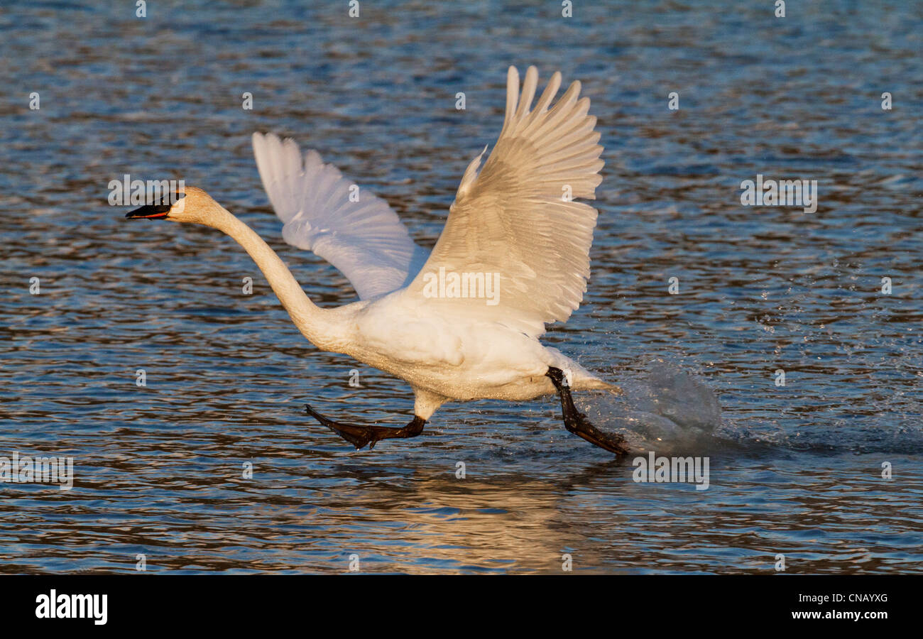 Trumpeter swan taking off of Potter Marsh near Anchorage during September migration, Southcentral Alaska - Stock Image