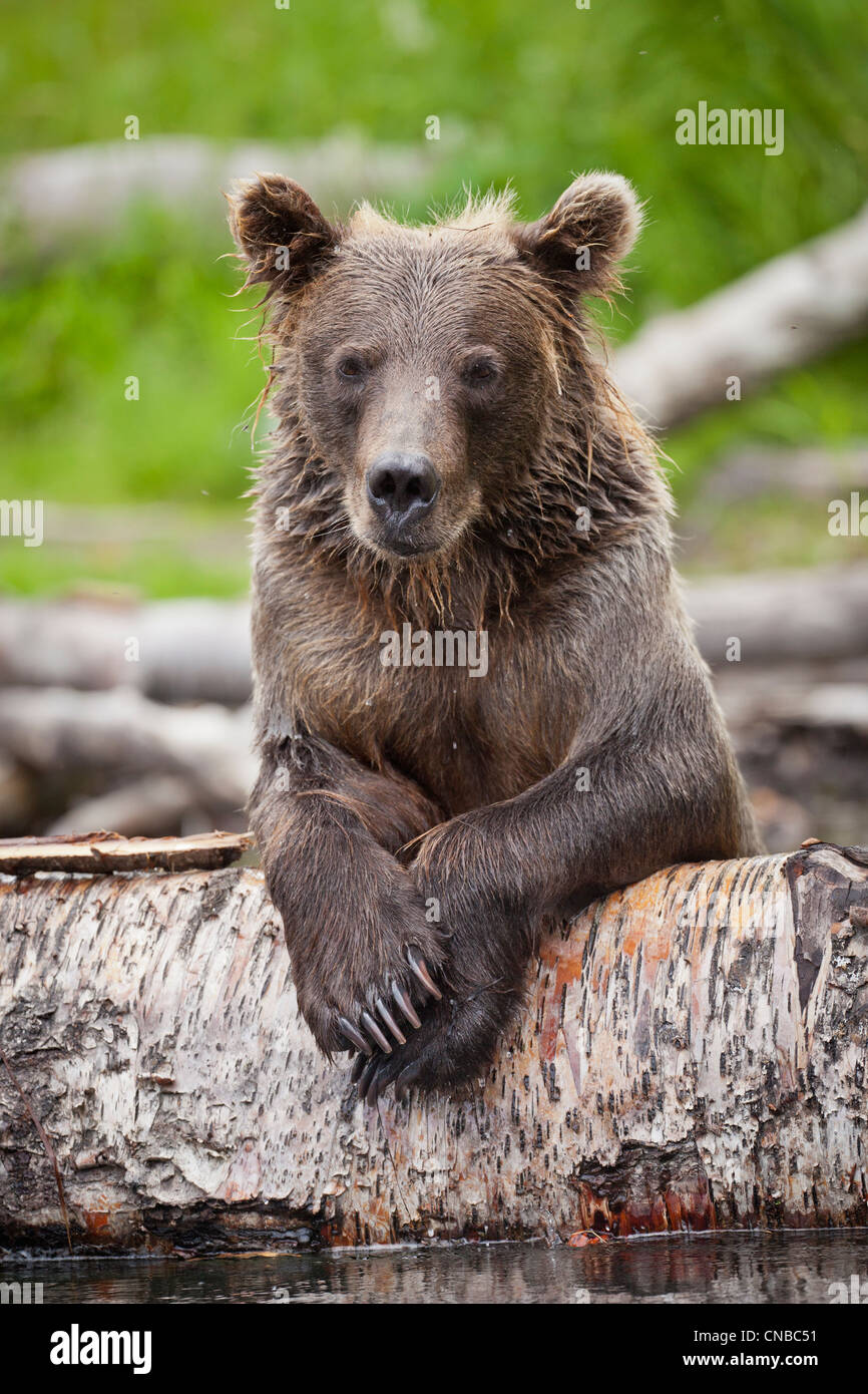 Sub-adult Brown bear rests on a fallen log in the Russian River, Southcentral Alaska, Summer - Stock Image