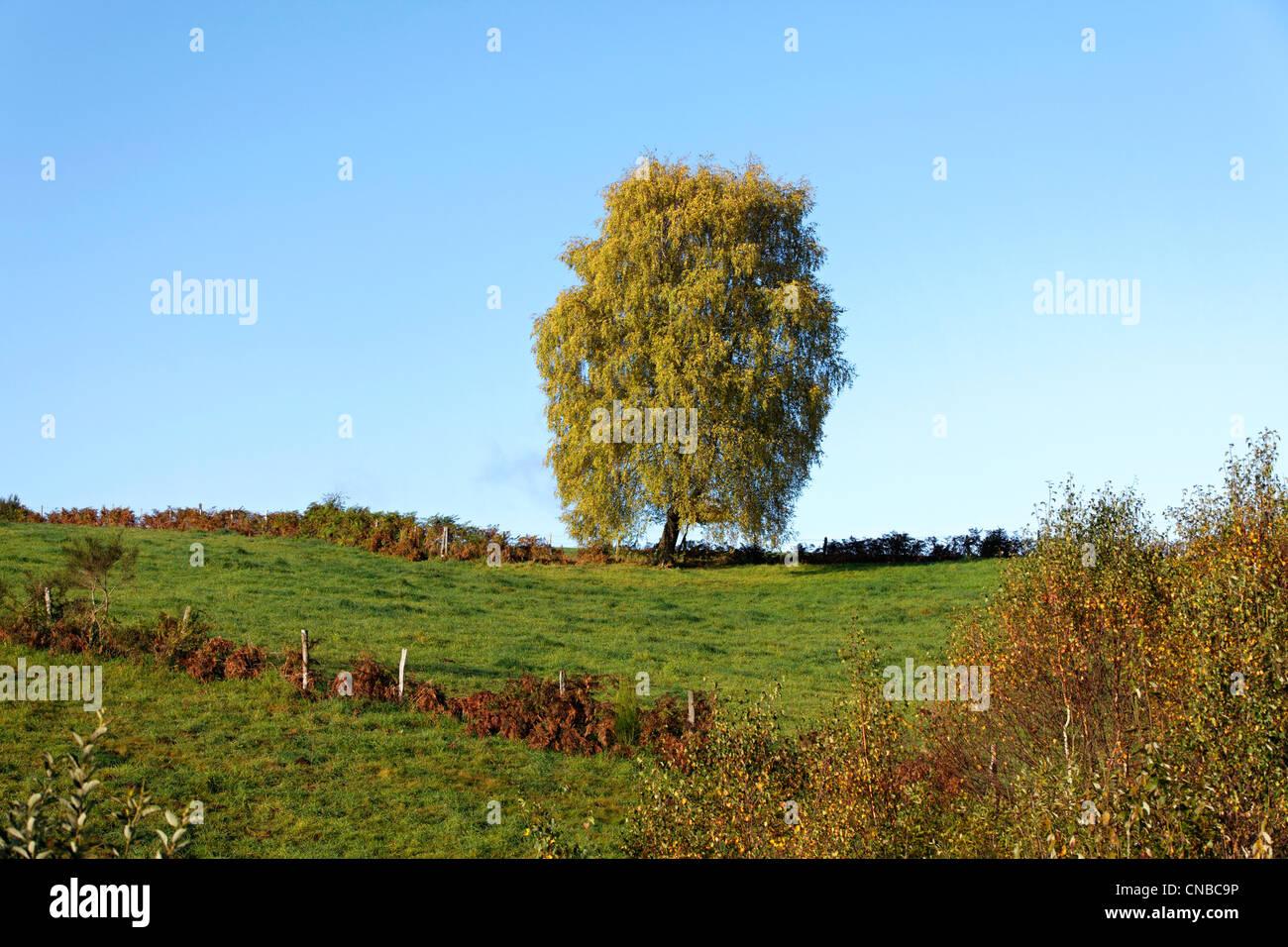 France, Correze, isolate tree (Betula pendula) - Stock Image
