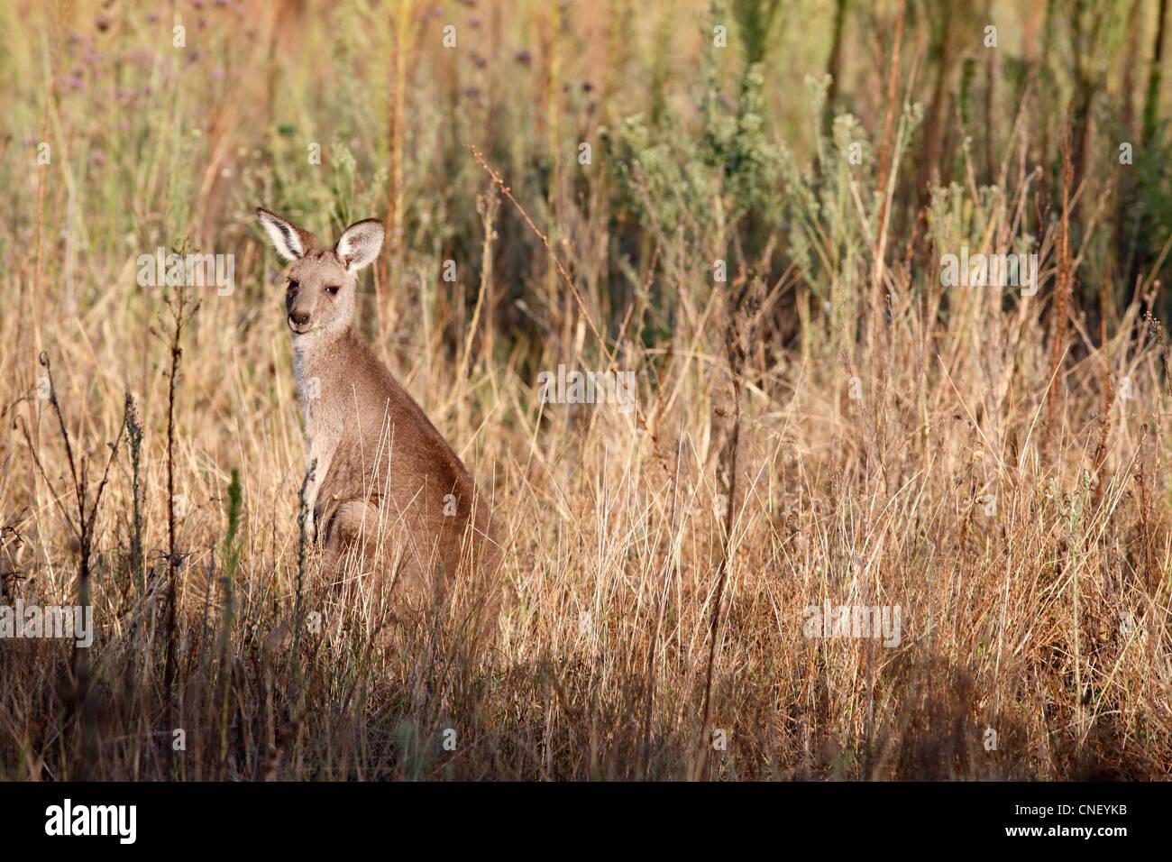 eastern-grey-kangaroo-macropus-giganteus-camouflaged-in-long-grass-CNEYKB.jpg