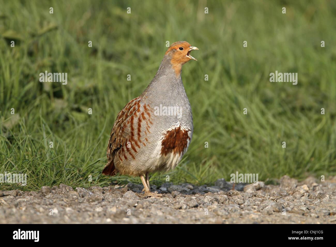 Grey Partridge (Perdix perdix) adult male, calling, standing on farm track, Leicestershire, England, april Stock Photo