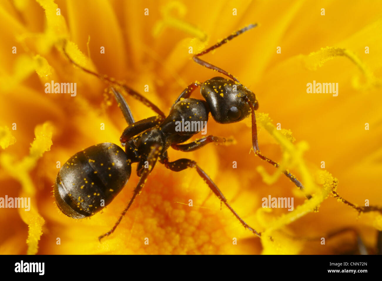 Black Garden Ant (Lasius Niger) Adult Worker, Feeding On Dandelion  (Taraxacum Sp.) Flower, Powys, Wales, April